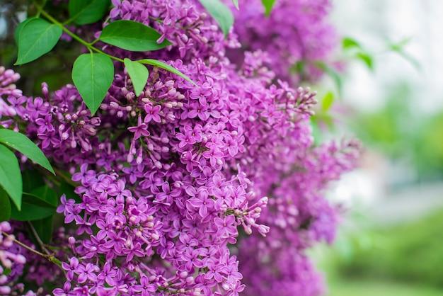 Piękne krzewy z kwiatami bzu w ogrodzie