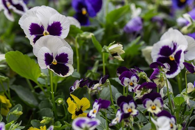 Piękne kwiaty altówki kwitnące w ogrodzie w wiosenny dzień