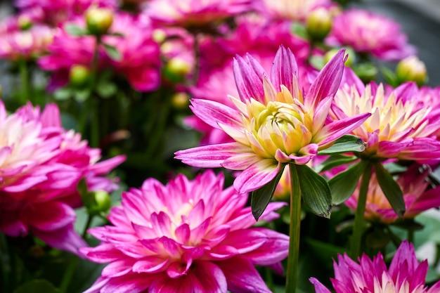 Piękne kwiaty astry chińskiego.