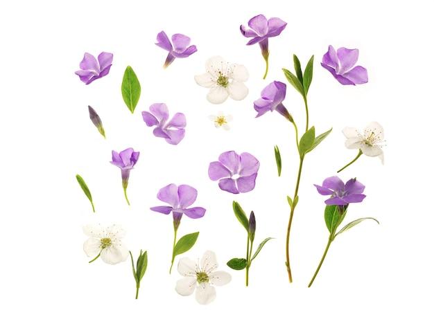 Piękne kwiaty barwinka