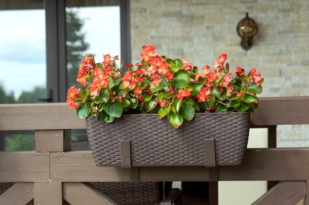 Piękne kwiaty begonii w doniczce na przydomowym tarasie. koncepcja ogrodnictwa i sadzenia w domu