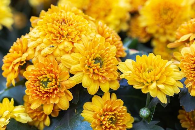Piękne kwiaty chryzantemy kwitnące w ogrodzie w wiosenny dzień