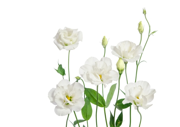 Piękne kwiaty eustoma na białym tle