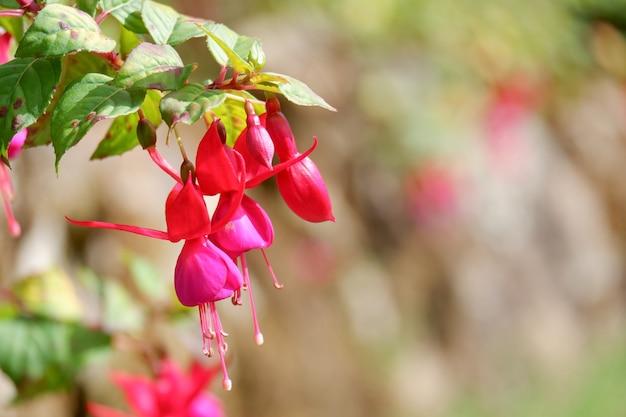 Piękne kwiaty fushia zbliżenie w ogrodzie