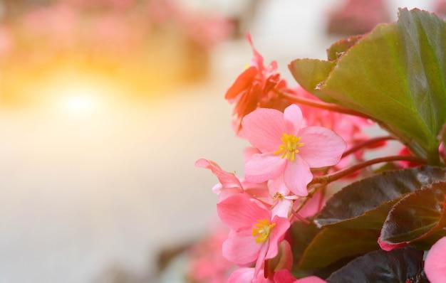 Piękne kwiaty gegonia rano w ogrodzie.