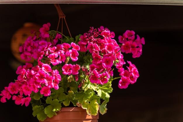 Piękne kwiaty geranium