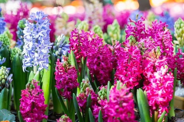 Piękne kwiaty hiacyntu kwitnące w ogrodzie w wiosenny dzień