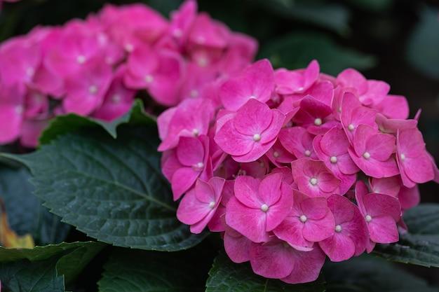 Piękne kwiaty hydenyia kwitnące w ogrodzie w wiosenny dzień