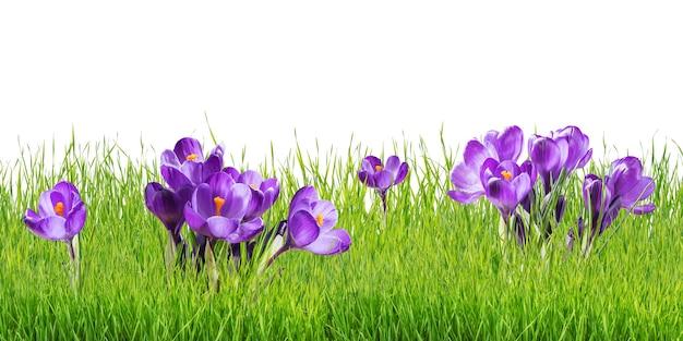 Piękne kwiaty krokusy na białym tle