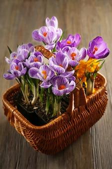 Piękne kwiaty krokusy w wiklinowym koszu na drewnianym