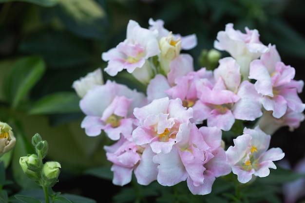 Piękne kwiaty lwiej paszczy kwitnące w ogrodzie w wiosenny dzień