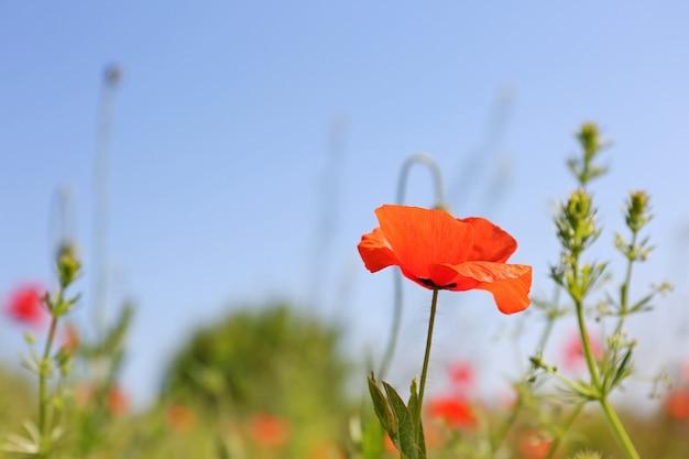 Piękne kwiaty maku na błękitnym niebie
