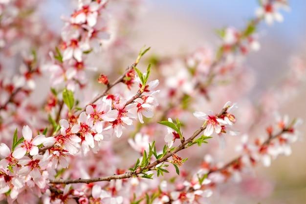 Piękne kwiaty migdałów na gałęzi drzewa