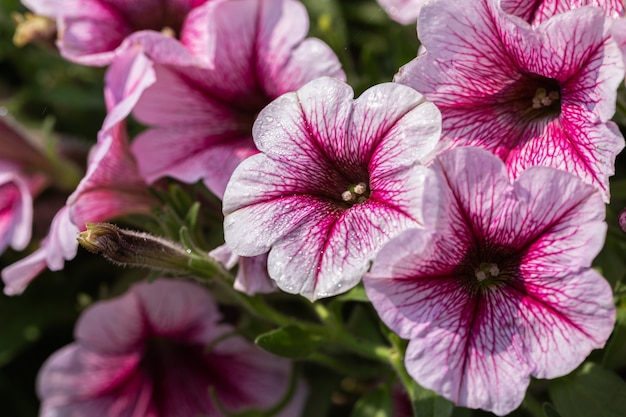 Piękne kwiaty petunii kwitnące w ogrodzie w wiosenny dzień