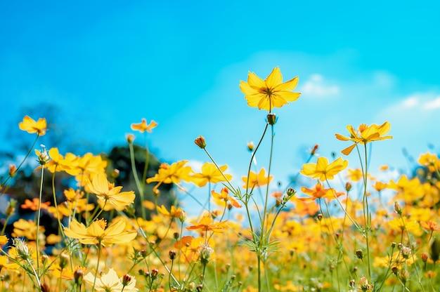Piękne kwiaty polne kosmosu kwitnące w ogrodzieelective focus kolorowy kosmos w ogrodzie