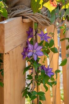 Piękne kwiaty powojników i na drewnianym tle fioletowy kwiat