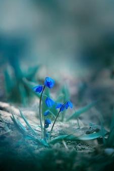 Piękne kwiaty przebiśnieg (galanthus nivalis) z bliska