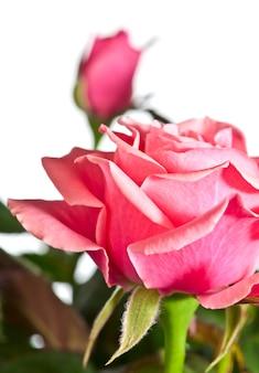 Piękne kwiaty róży na białym tle