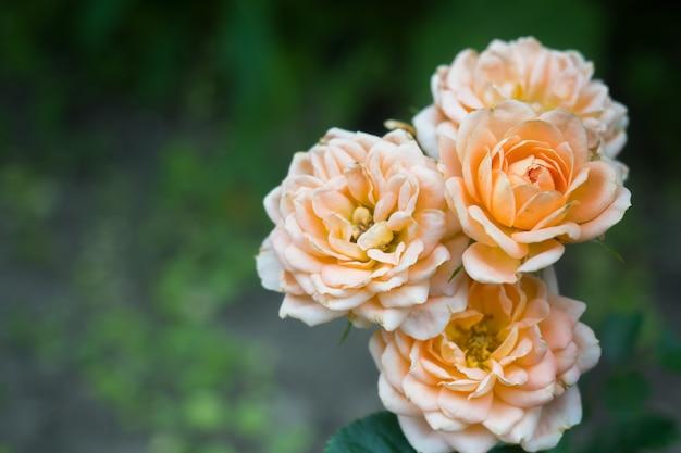 Piękne kwiaty róży to pastelowe kolory w letnim ogrodzie z kroplami rosy.