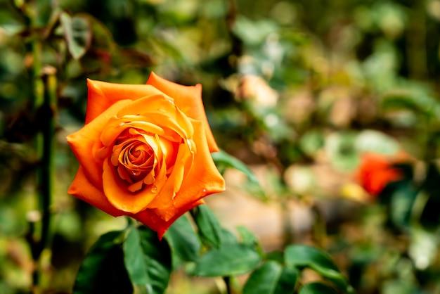 Piękne kwiaty róży
