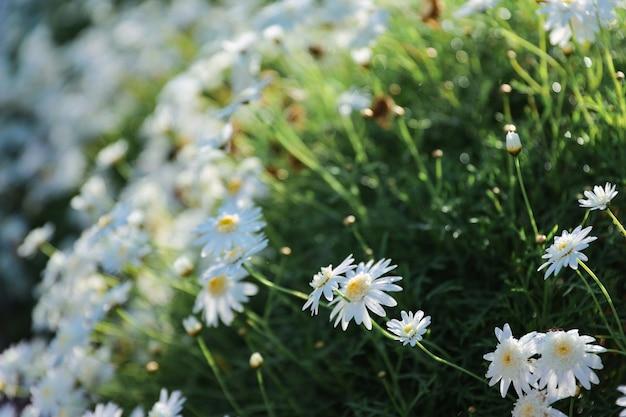 Piękne kwiaty rumianku lub stokrotki na zewnątrz w słoneczny dzień
