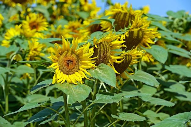 Piękne kwiaty w letnim polu słonecznika