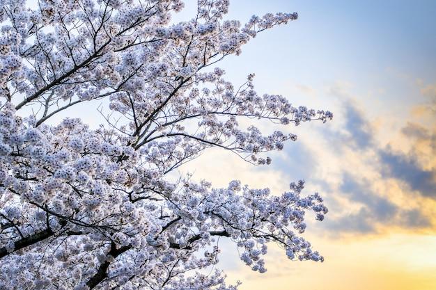 Piękne kwiaty wiśni. kwiaty sakury w japonii. podróżuj wiosną.