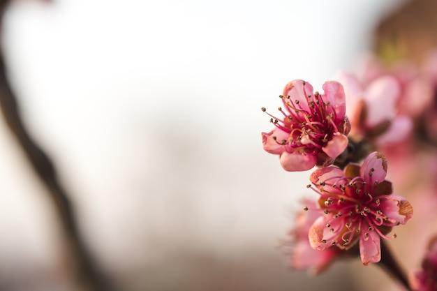 Piękne kwiaty wiśni w ogrodzie uchwycone w jasny dzień