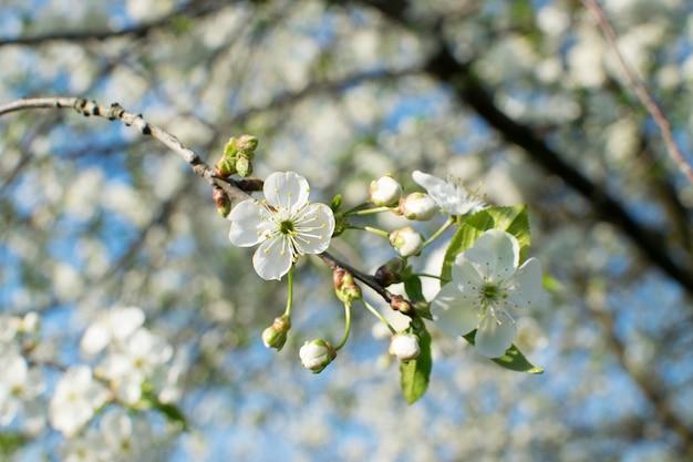 Piękne kwiaty wiśni w wiosennym ogrodzie. kwiaty białych owoców w parku na tle błękitnego nieba