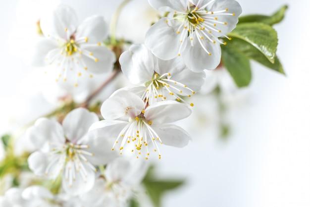 Piękne kwiaty wiśni z bliska.