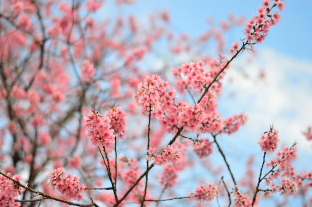 Piękne kwiaty wiśni z czystym niebem