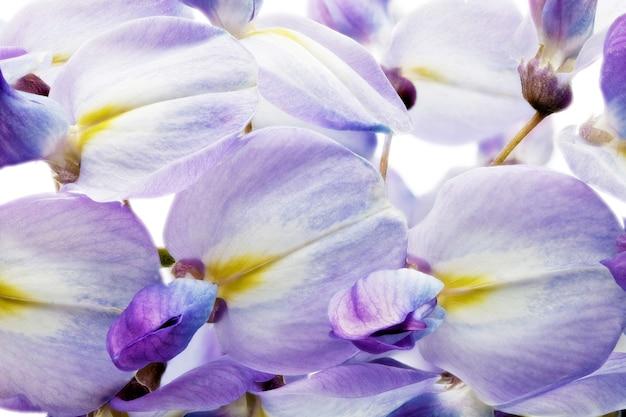 Piękne kwiaty wisteria na białym tle. na białym tle.