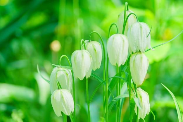 Piękne kwitnące białe dzwonki fritillaria meleagris