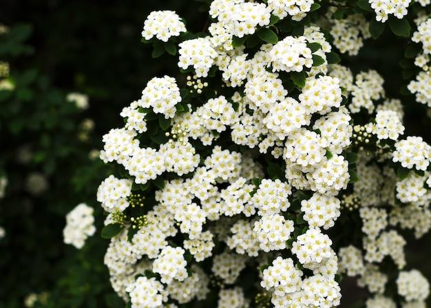 Piękne kwitnące białe kwiaty spirei. białe wiosenne kwiaty 3
