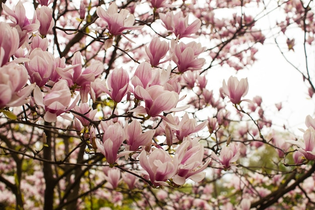 Piękne kwitnące drzewo magnolii o różowym kolorze na wiosnę