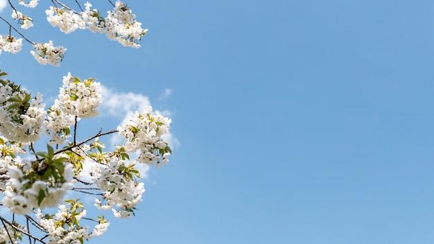 Piękne kwitnące drzewo z pogodnym niebem