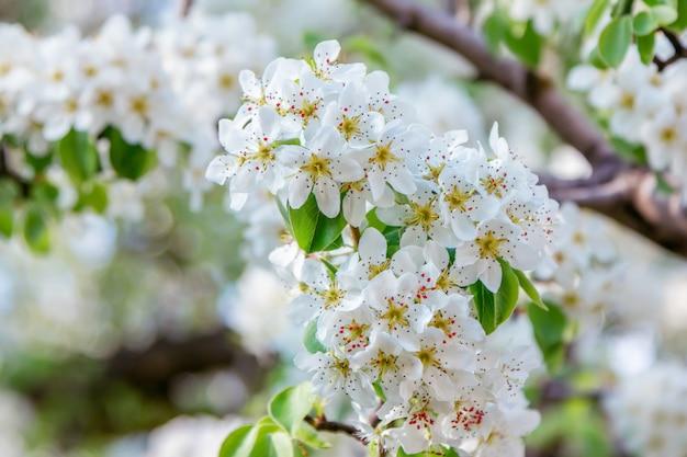 Piękne kwitnące gruszki gałęzie z białymi kwiatami i pąkami, rosnące w ogrodzie
