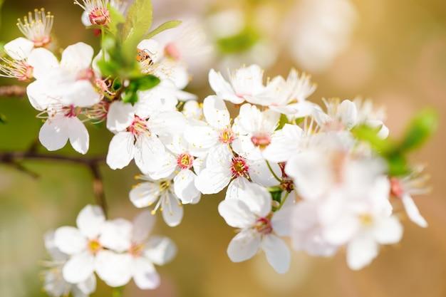 Piękne kwitnące jabłonie w wiośnie uprawiają ogródek. ścieśniać.