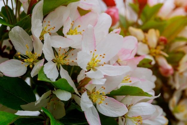 Piękne kwitnące jabłonie w wiośnie zamykają up