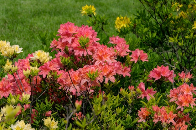 Piękne kwitnące krzewy rododendronów wiosną w słoneczny dzień