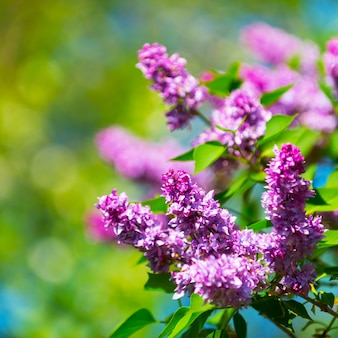 Piękne kwitnące kwiaty bzu na wiosnę