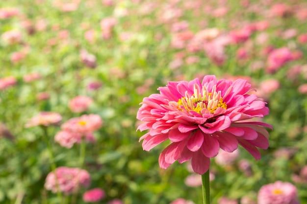 Piękne kwitnące kwiaty cyni.
