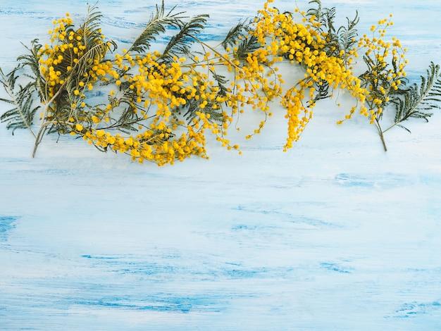 Piękne, kwitnące kwiaty mimozy na niebiesko-białej powierzchni