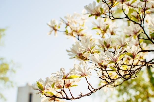 Piękne kwitnące magnolii gałęzie z otwartymi kwiatami. biała chińska magnolia z tulipanowymi kwiatami w wiosna ogródzie.