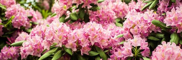 Piękne kwitnące różowe azalia - kwitnące krzewy z rodzaju rhododendron. różowy, letni kwiat tło. prace ogrodowe