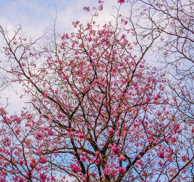 Piękne kwitnące różowe drzewo trąbka kwiaty w parku