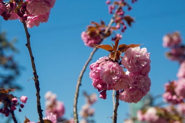 Piękne kwitnące różowe kwiaty wiśni w ogrodzie japońskim wiosną