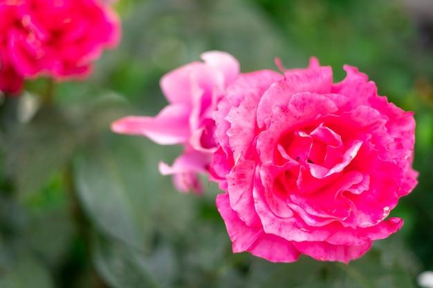 Piękne kwitnące różowe róże w ogrodzie latem promienie słońca na kwiatach