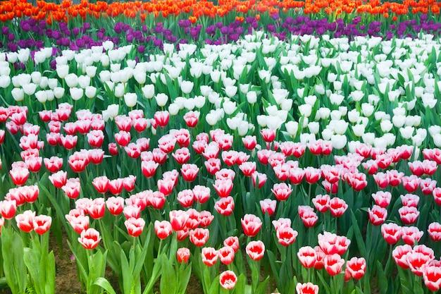 Piękne kwitnące tulipany w ogrodzie. tulipany kwitną z bliska w naturalnym oświetleniu na zewnątrz