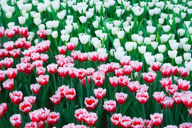 Piękne kwitnące tulipany w ogrodzie